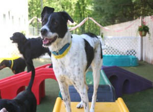 Dog Daycare Vaccine Requirements Morris Animal Inn