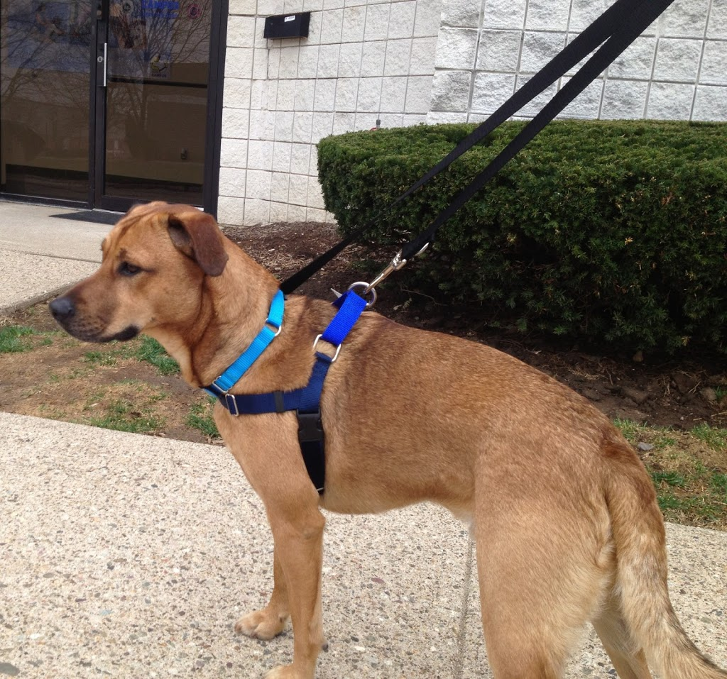 Austin terrier mix Freedom harness who's walking who? choosing the right harness or head collar