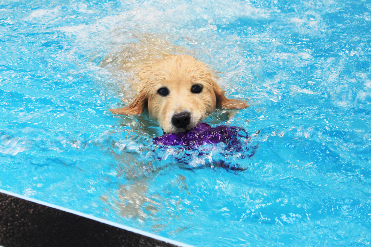 Dog swimming with toy at Morris Animal Inn.