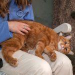 big orange tabby on a staff member's lap getting pets