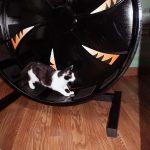 cat on a kitty wheel