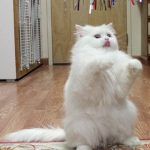 fluffy white cat playing with a feather toy