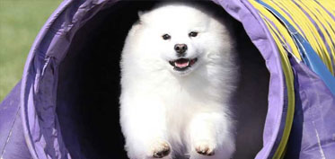 White dog jumping through tunnel