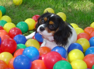 Dog hiding in play balls