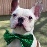 dog wearing a green, sequined bow tie