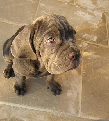 List Of Large Breed Dogs With Pictures