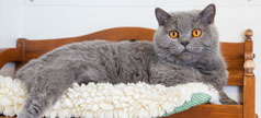 Grey cat in a bed
