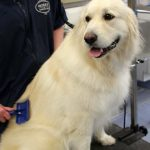 Golden retriever getting a comb out at Morris Animal Inn