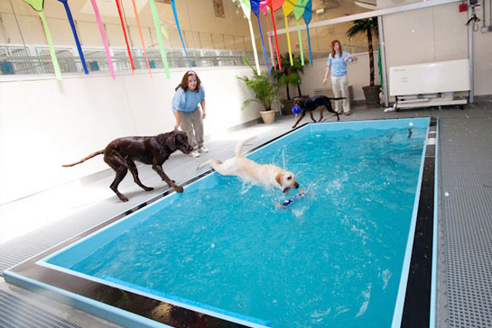 Dog jumping into the indoor pool