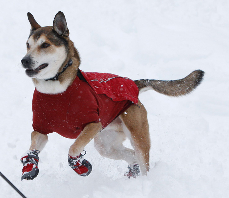 Should Your Dog Wear Winter Boots  2028272bdabf