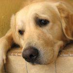 Canine Influenza Vaccine